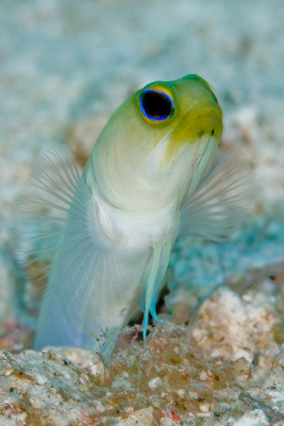 Yellowhead Jawfish