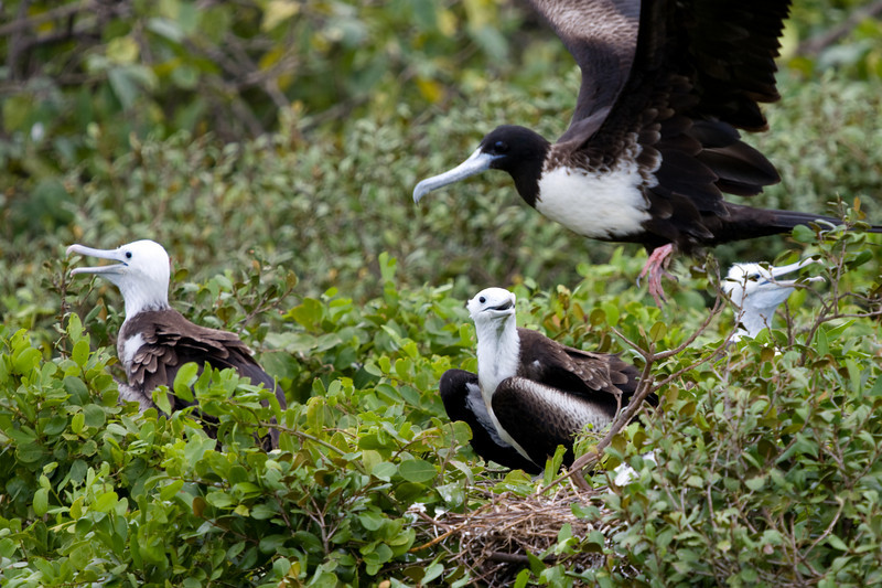 A bevy of Boobys