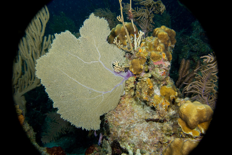 Giant Seafan, keyhole view