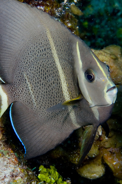 Gray Angelfish, intermediate