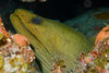 Big Green Moray being cleaned by a couple of Neon Gobys