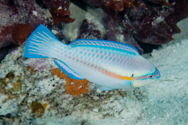 Stripped Parrotfish