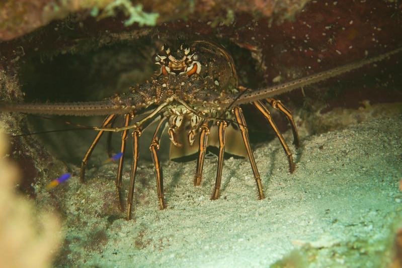 IMG_9176_Lobster