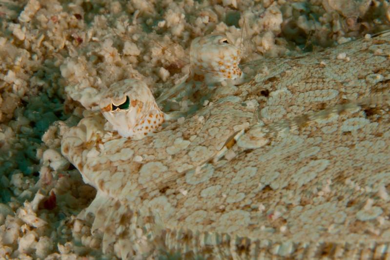 IMG_9216_Peacock_Eyes