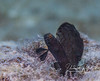 "Sailfin Goby displaying (blurry because he's ""twitching"")"