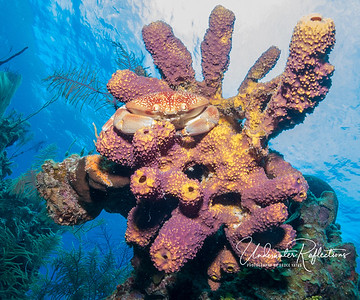 Complex sponge configuration with crabby guest (Lighthouse Reef, Belize)