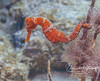 Longsnout seahorse (more natural pose)