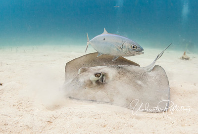 Southern stingray and companion jack