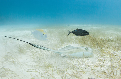 Southern stingray with companion jack and porkfish