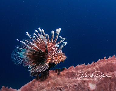 Lionfish above barrel sponge