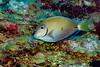 IMG_5237 ocean surgeonfish