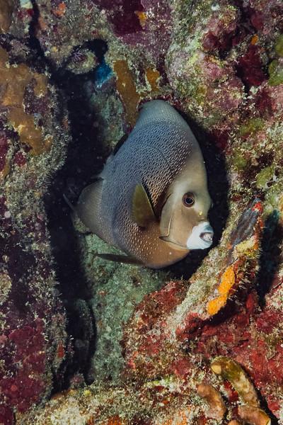 IMG_5234 gray angelfish