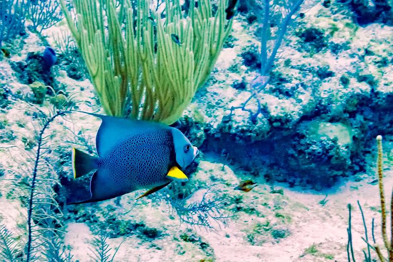 IMG_5131 gray angelfish