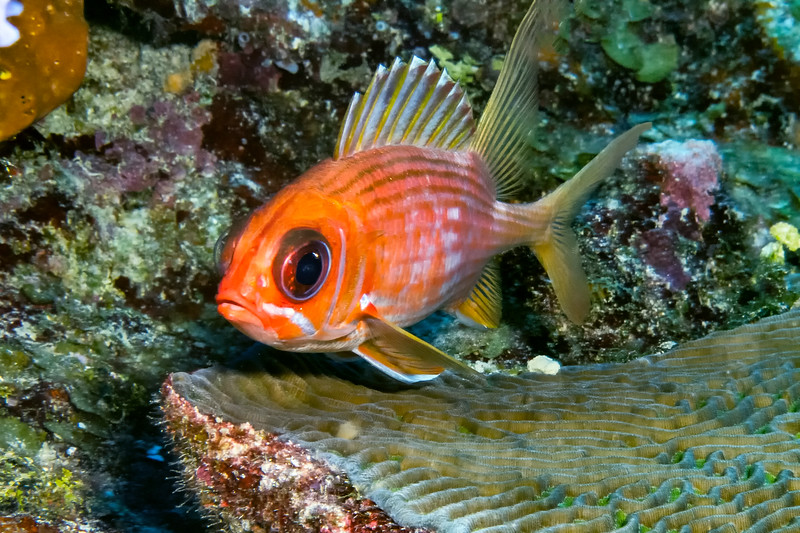 IMG_5240 longspine squirrelfish