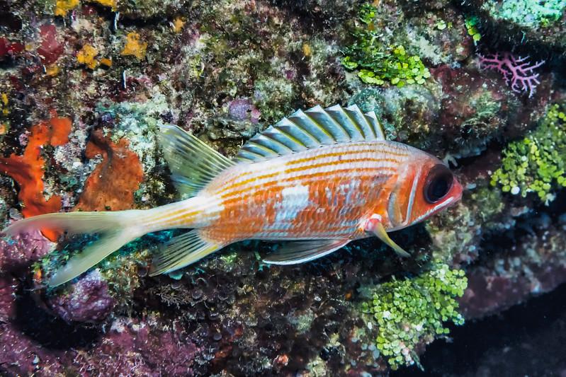 IMG_5244 longspine squirrelfish