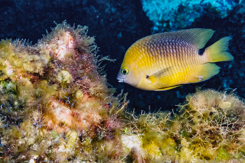 IMG_5287 damselfish