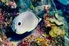 IMG_5231 foureye butterflyfish