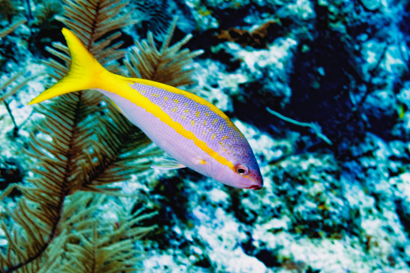 IMG_5124 yellowtail snapper