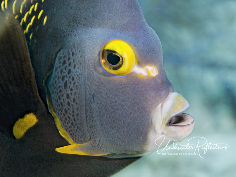 French angelfish face