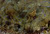 Peacock flounder face