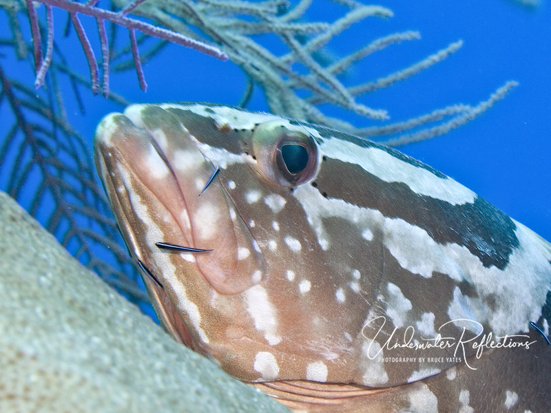 Nassau grouper being cleaned by tiny cleaner wrasses