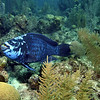 A giant Midnight Blue Parrot Fish.