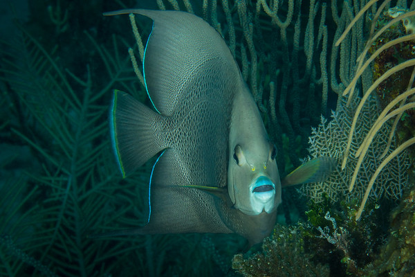 Gray Angelfish  Belize