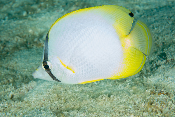 Spotfin Butterflyfish  Belize