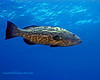 Black Grouper 5