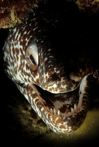 My, what big teeth you have..... Spotted Moray, Bequia