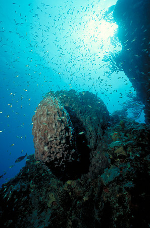 A cloud of small bait fish almost obscures a large Barrel Sponge on the reef top.