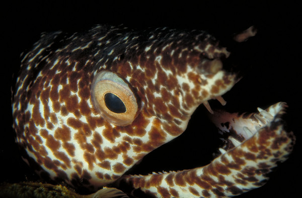 Spotted Moray Eel, Bequia