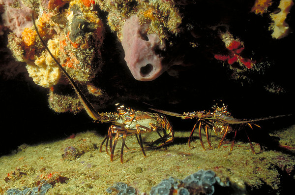 A pair of Spiny Lobsters peer from underneath a ledge.