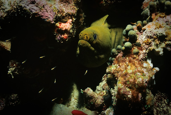 A Green Moray Eel peers from an undersea ledge.