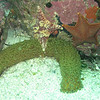 Bat Stars with<br /> Warty Sea Cucumber<br /> Monterey Bay