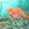 Vermilion rockfish<br /> Monterey Bay