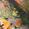 Gopher Rockfish<br /> Monterey Bay
