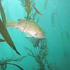 Kelp rockfish<br /> Pt Lobos, CA