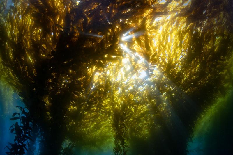Sunburst through the kelp
