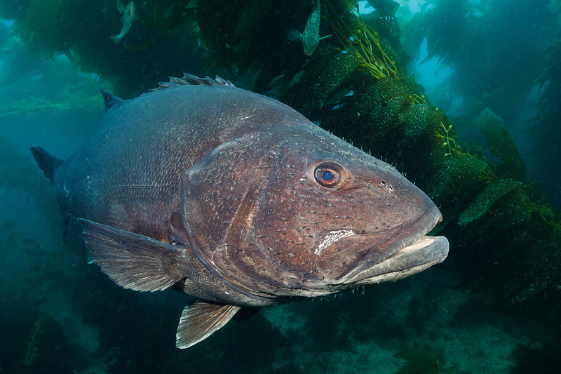 Giant Sea Bass (Wreckfish) at Casino Point