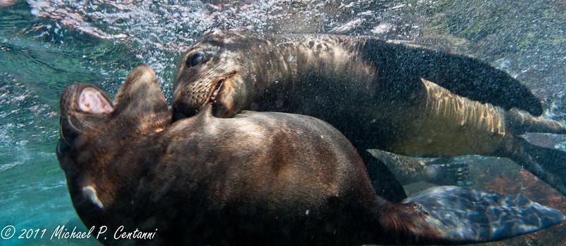 sea lion pups playing