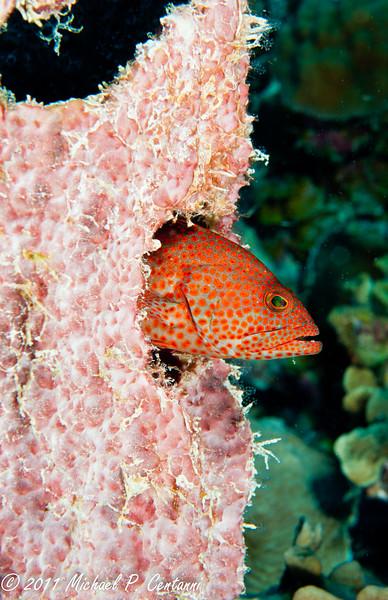 Coney in coral head