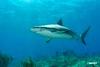 Shark_D711050