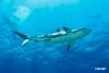 Shark_D711080