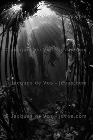 Black And White Underwater Kelp Seascape