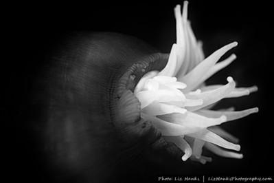 A partially closed fish-eating anemone (Urticina piscivora). Eric's Pinnacle, Monterey Bay, California.