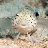 Speckled Sandperch