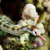 Pipefish Head