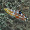Puddingwife - Juvenile