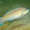 Striped Parrotfish - Terminal Phase